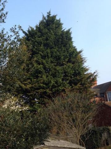 Conifer removal in Rushden