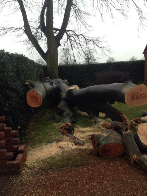 Removing fallen beech tree